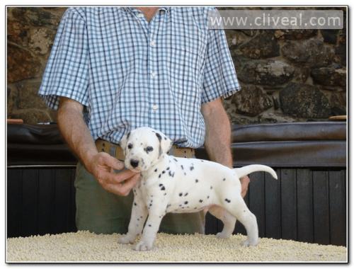 cachorro dalmata llamado semptiternus de cliveal