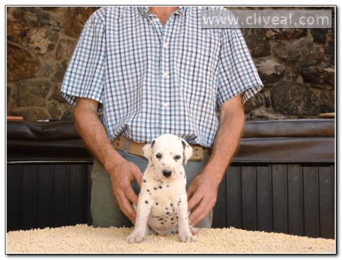 cachorro dalmata sempiternus de cliveal sentado