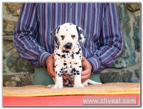 cachorro-dalmata-tempori-principiatus-de-cliveal