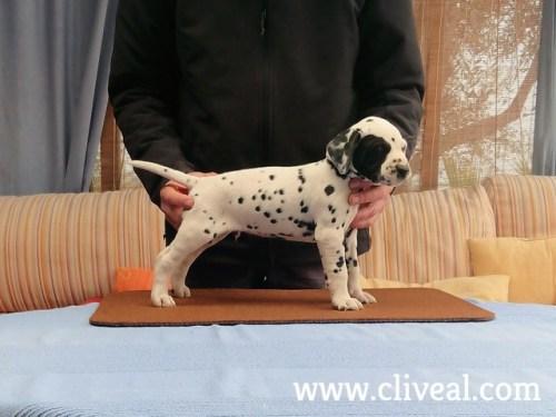 cachorro dalmata tyrius de cliveal