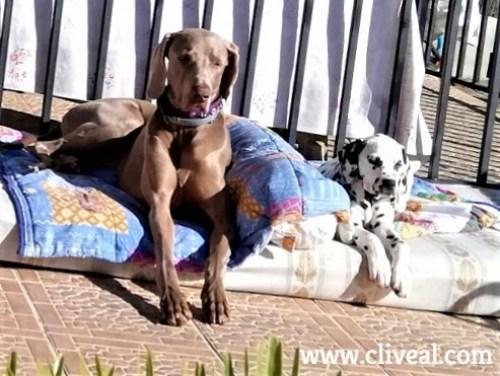 cachorro dalmata valencia