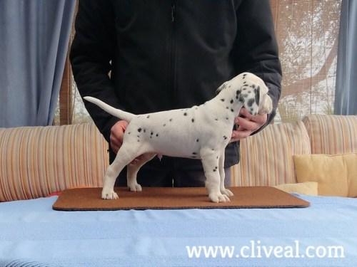 cachorro dalmata vorago de cliveal 1