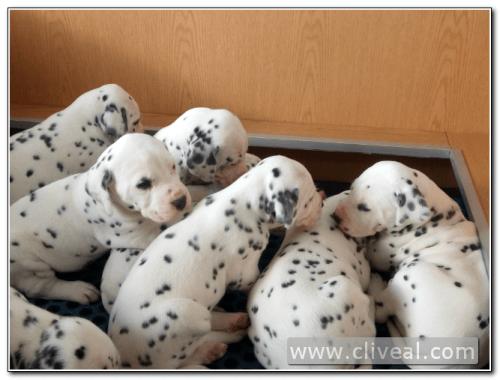 cachorros camada dalmata criadero cliveal