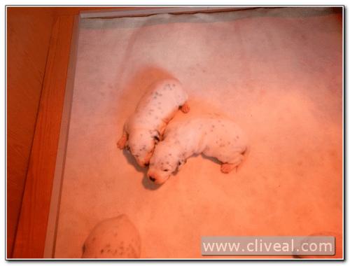 cachorros dalmatas com dois semanas de vida