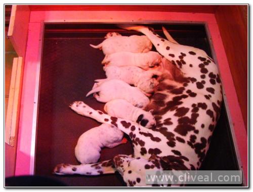 camada de cachorros dalmatas de una semana