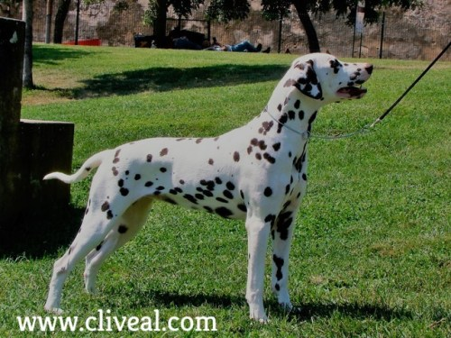 dalmata color higado aqua brunnea de cliveal