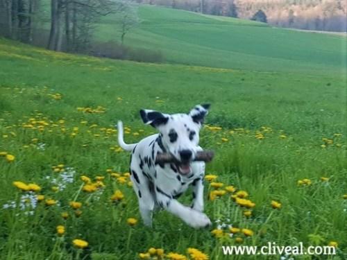 dalmata corriendo en suiza