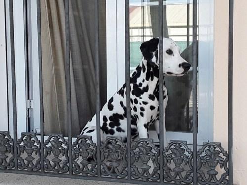 dalmata en la ventana