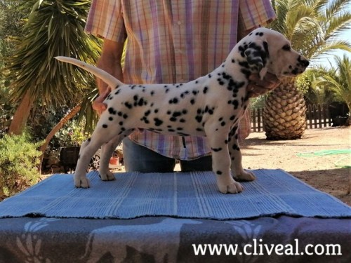 dalmata interdictum de cliveal
