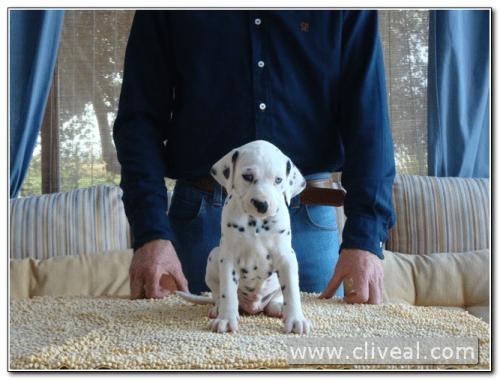 blue eye dalmatian