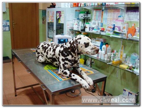 dalmata tumbada en mesa de la clinica veterinaria cliveal