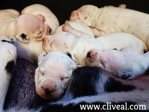 dalmatas cachorros durmiendo
