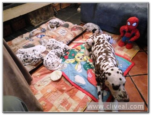 dalmatian puppy litter