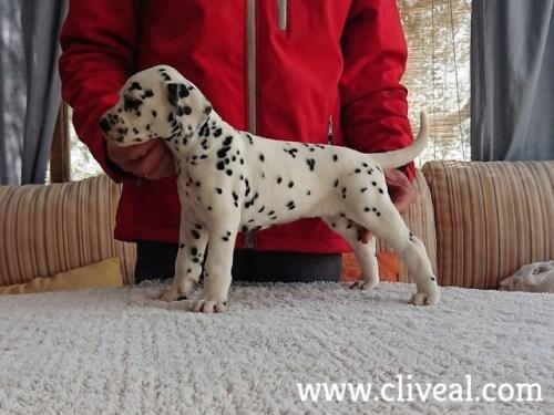 dalmatian puppy suppar de cliveal