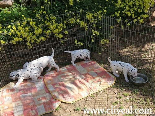 dalmatians puppies