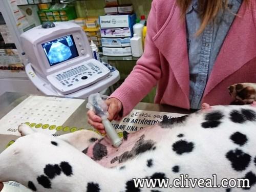 ecografia perra embarazada