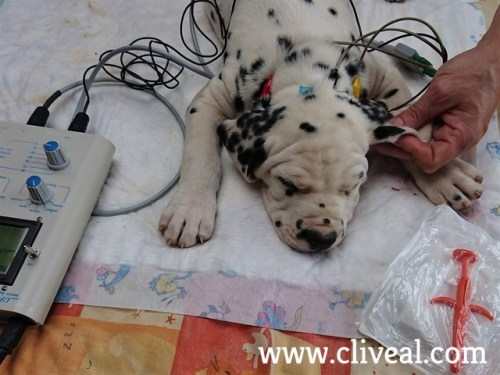 hearing test dalmatian puppy