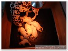 madre-dalmata-limpiando-a-sus-cachorros
