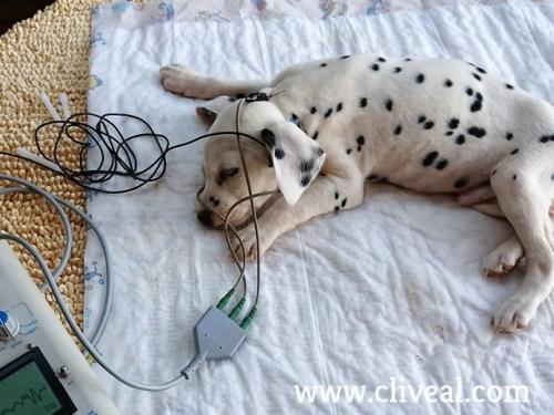 medicion audicion cachorro