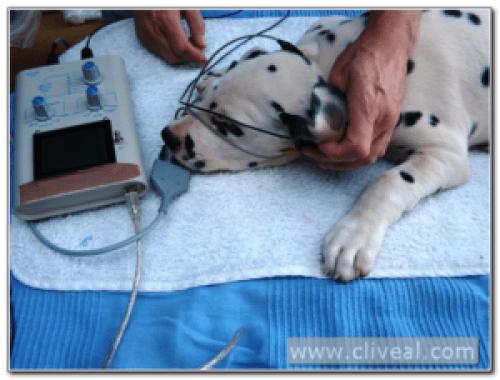 test de sordera de un cachorrito dalmata del criadero Cliveal