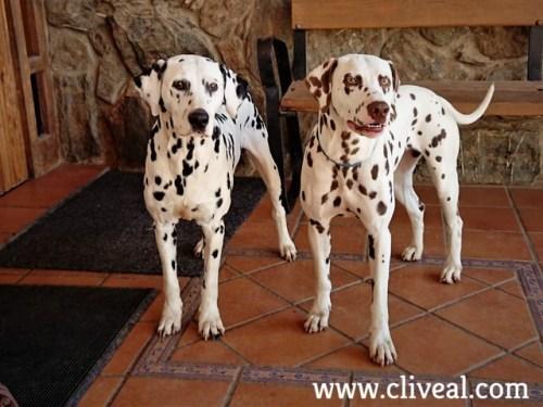 two dalmatians