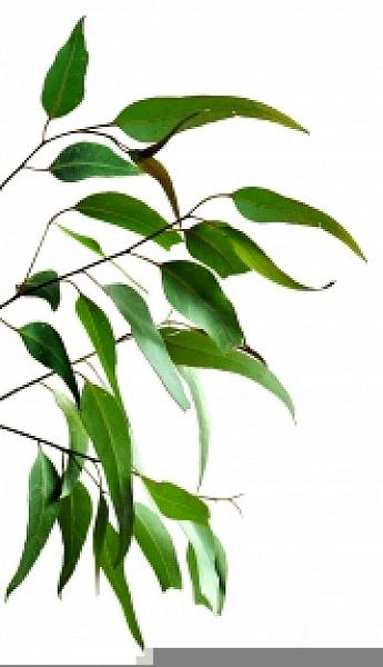 Gum Tree Clipart Free | Free Images at Clker.com - vector ... (345 x 600 Pixel)