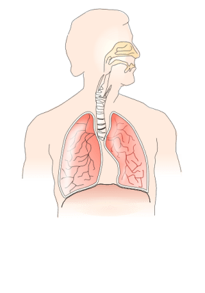Unlabelled Respiratory System No Background Clip Art at
