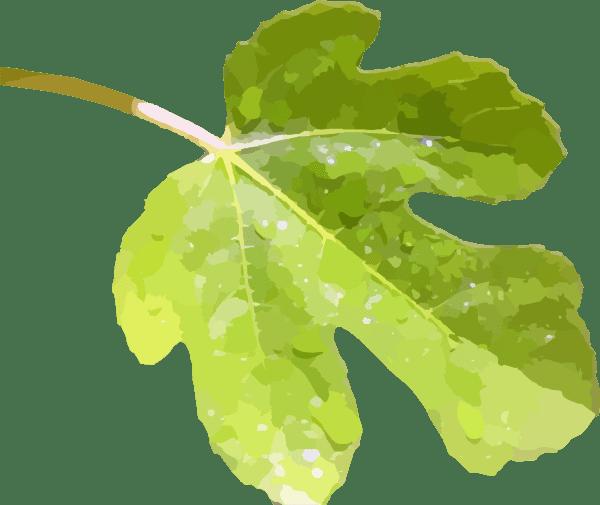 Fig Leaf 2a Clip Art At Clker Com Vector Clip Art Online