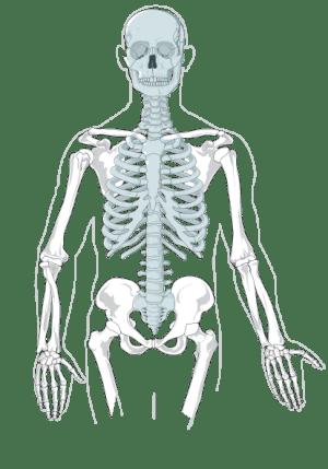 Axial Skeleton  Clean Clip Art at Clker  vector clip