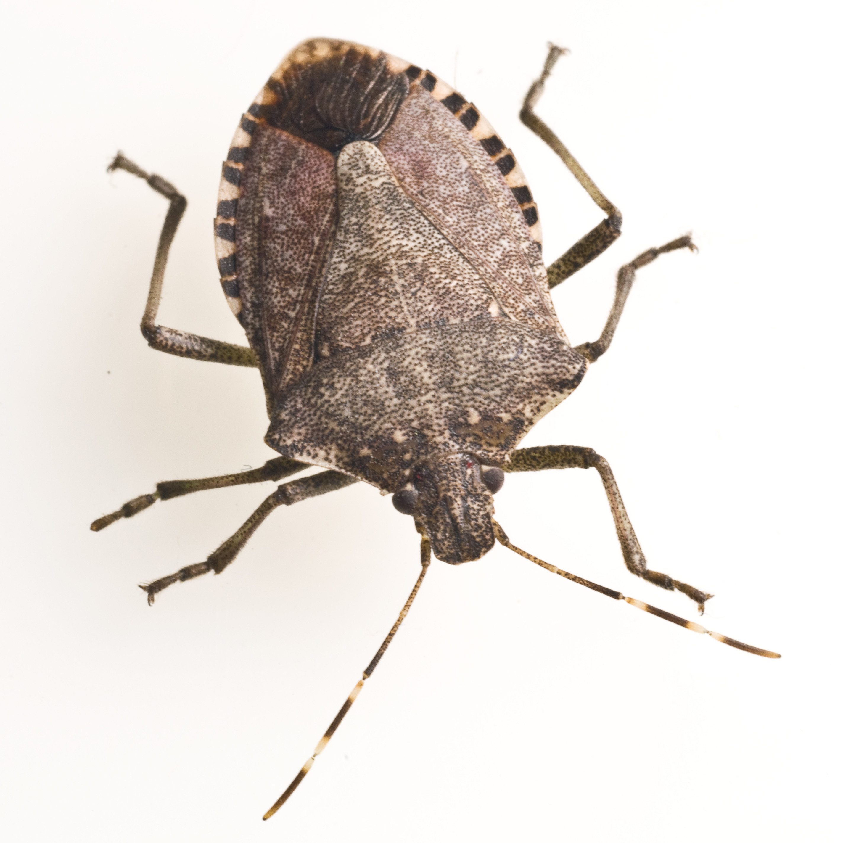 Stink Bug Free Images At Clker