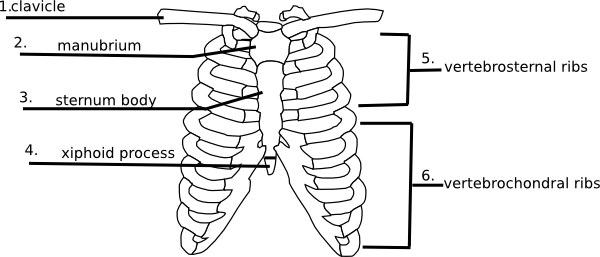 Answers Rib Cage Quiz Clip Art At Clker