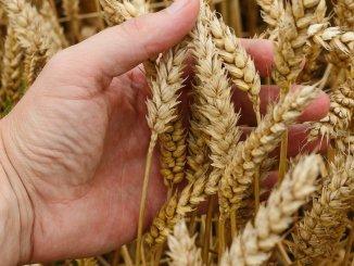 Cultură de grâu. FOTO Pavlofox
