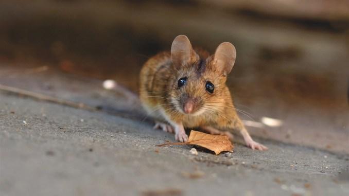 Șoareci în Călărași. FOTO Capri23auto