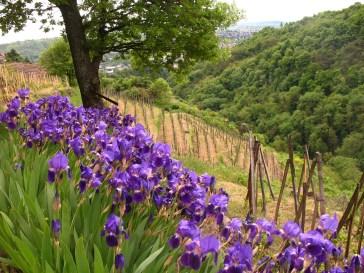 Les iris du Clos de la Bonnette