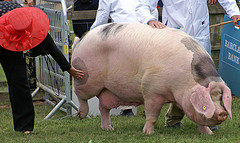Gloucestershire Old Spot - Best of Breed