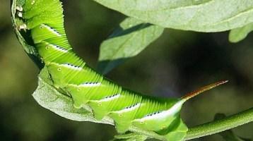 tomato hornworm CF