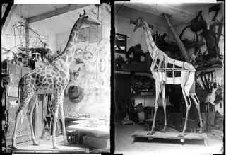 museum toulouse girafe_restauration2