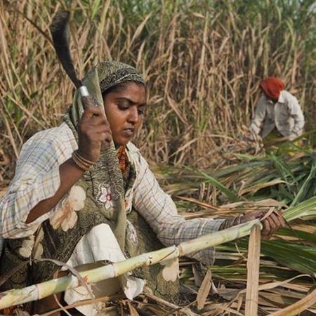 Cortadoras de cana na Índia têm útero retirado à força para serem mais produtivas