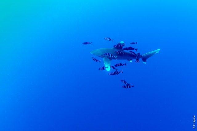 Egypte Septembre 2017 - Requin Longimanus