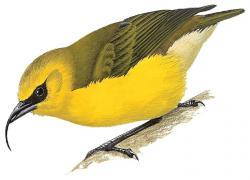 Akiapolaau (Hemignathus Munroi)
