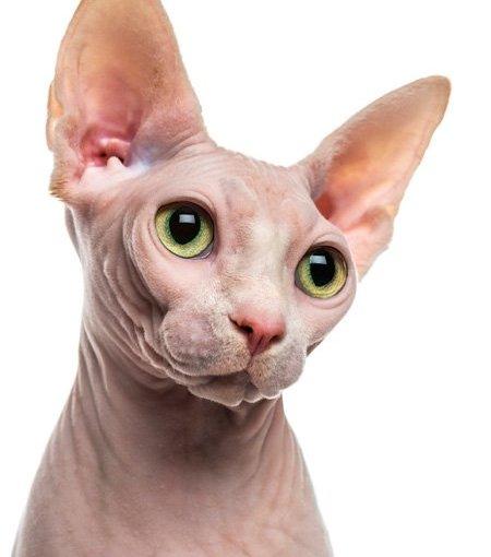 Sphynx o Gato Esfinge (Felis Catus)