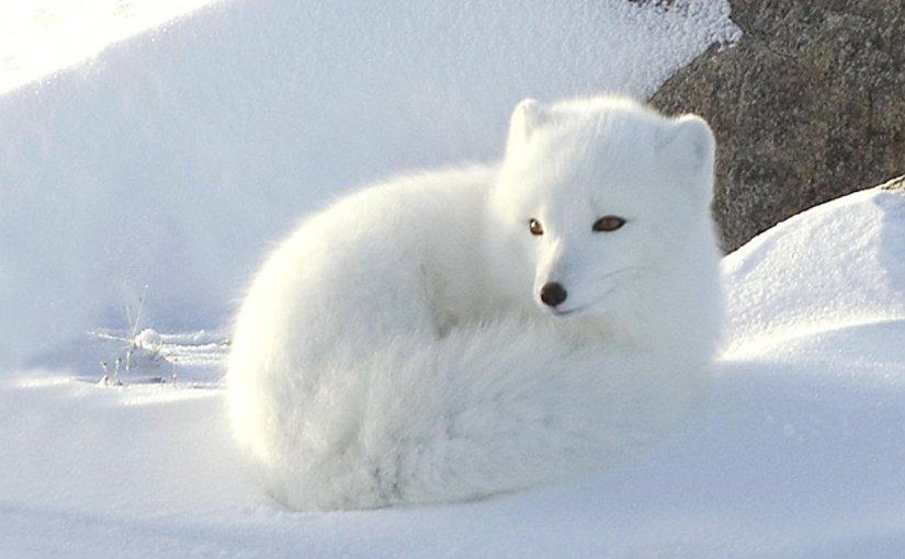 Zorro polar (Vulpes Lagopus)