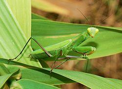 Mantis religiosa (Mantis religiosa)