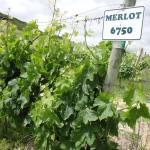 floracao merlot