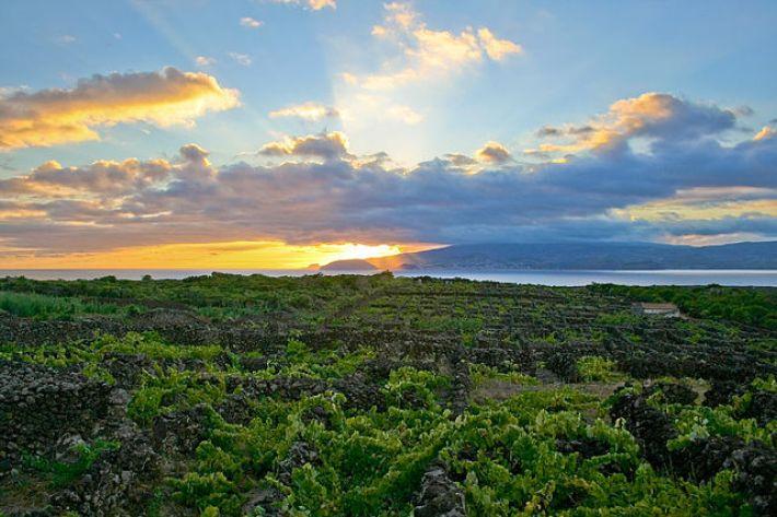 Vinhas do Pico um Património Mundial e Histórico da UNESCO 11