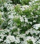 Espinheiro-alvar Odor floral e muito suave, delicado e sustentado, que evoca o que é exalado pelas flores desta espécie botânica.