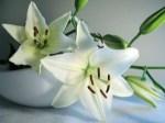 Lírio Odor floral que recorda o perfume que as flores com o mesmo nome exalam.