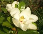 Magnólia Odor floral de alguns vinhos brancos, que evoca o perfume que as flores da magnólia exalam.
