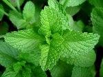Menta Aroma excitante que se detecta em grandes vinhos brancos (menta verde) ou tintos (menta picante ou peppermint).