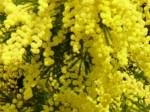 Mimosa Odor floral que recorda o das flores da mimosa.